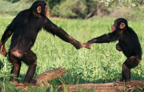 chimpanzees_0