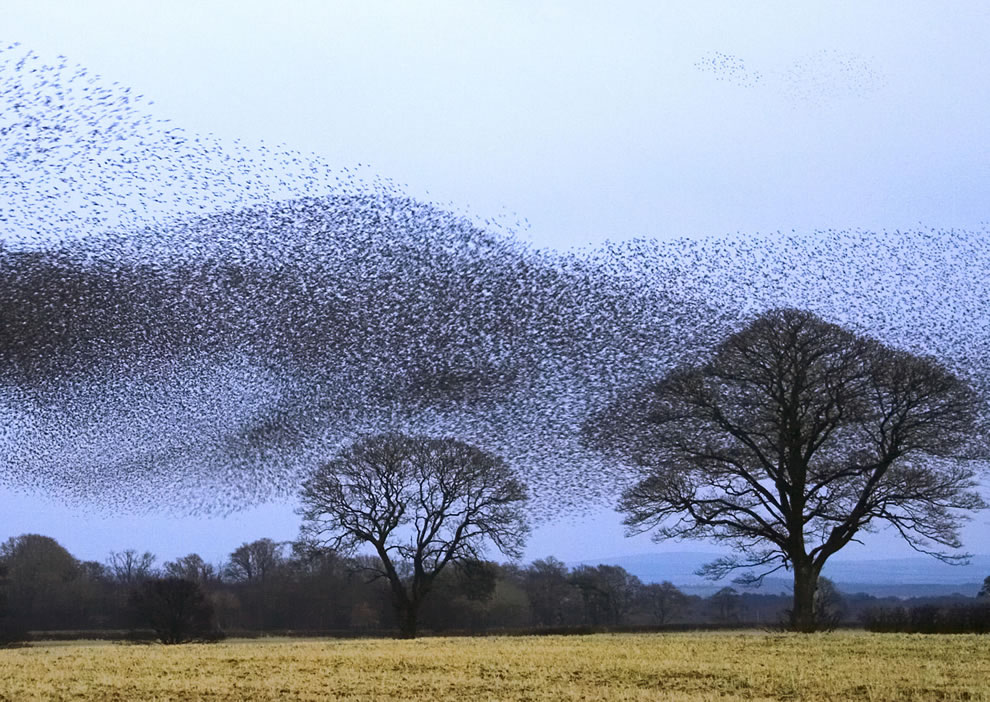 Flock-of-Starlings-over-Scotland