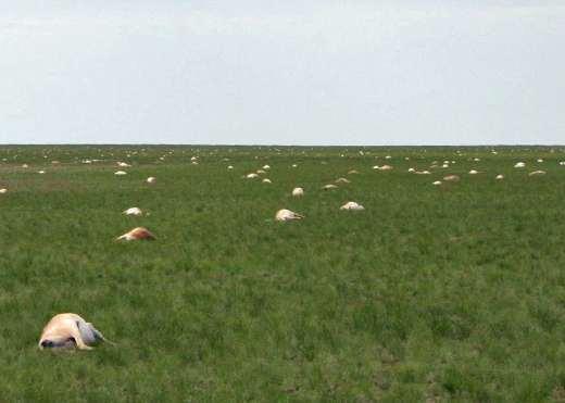 antelope-dead-phys-org-62015
