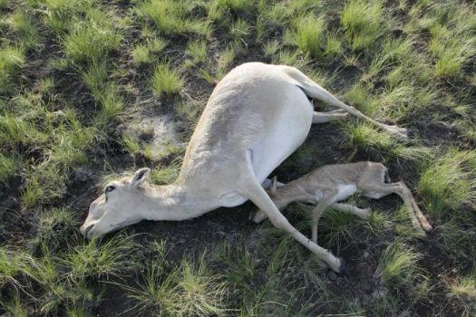 Sudden-mass-deaths-of-rare-Saiga-antelopes-in-Kazakhstan-raise-concern