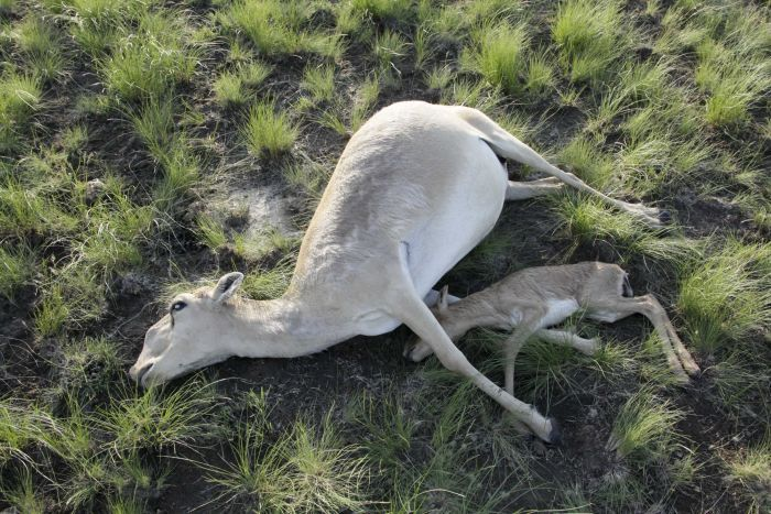 Sudden-mass-deaths-of-rare-Saiga-antelopes-in-Kazakhstan-raise-concern